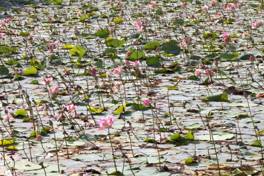Lotus flowers (31)