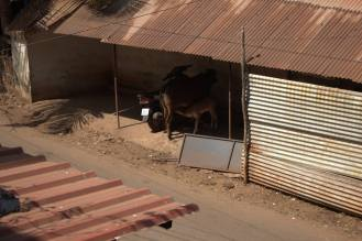 Goa cow (3)