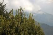 Darjeeling (127)