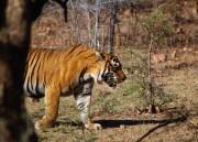 Tiger pic 2
